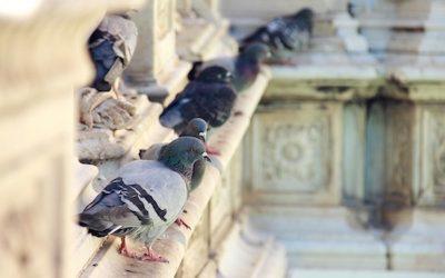 Colonia di piccioni presso Relais Villa Valentini – Ordinanza contingibile ed urgente in materia sanitaria